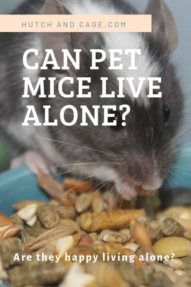 can mice live alone Pinterest image