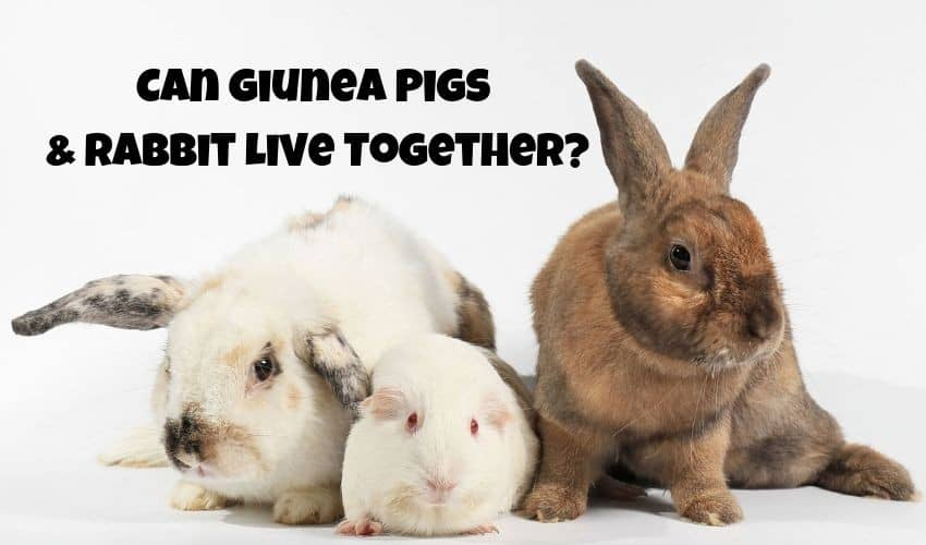 can guinea pigs and rabbits live together
