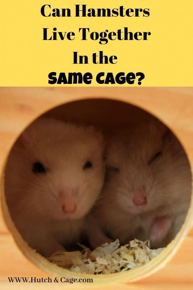 can hamsters live together? pinterest image