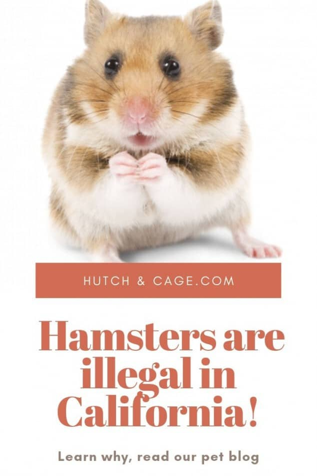 pinterest image of a hamster