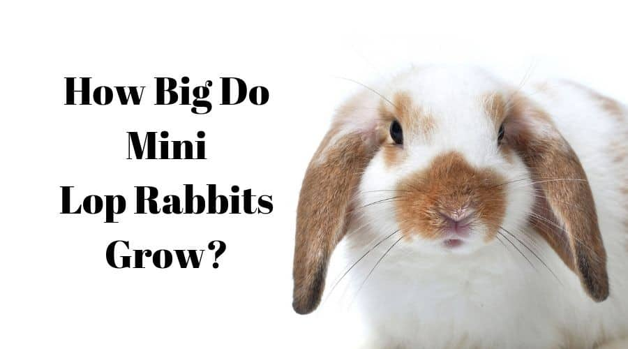 how big do mini lop rabbits grow