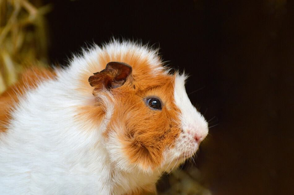 IMAGE OF A SAD GUINEA PIG