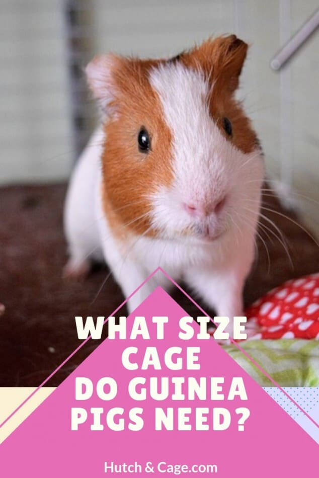 WHAT SIZE CAGE DO GUINEA PIGS NEED?