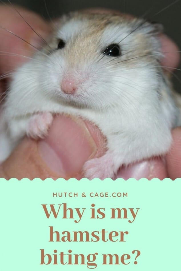 Why Is My Hamster Biting Me? Tips To Stop Them Biting 1