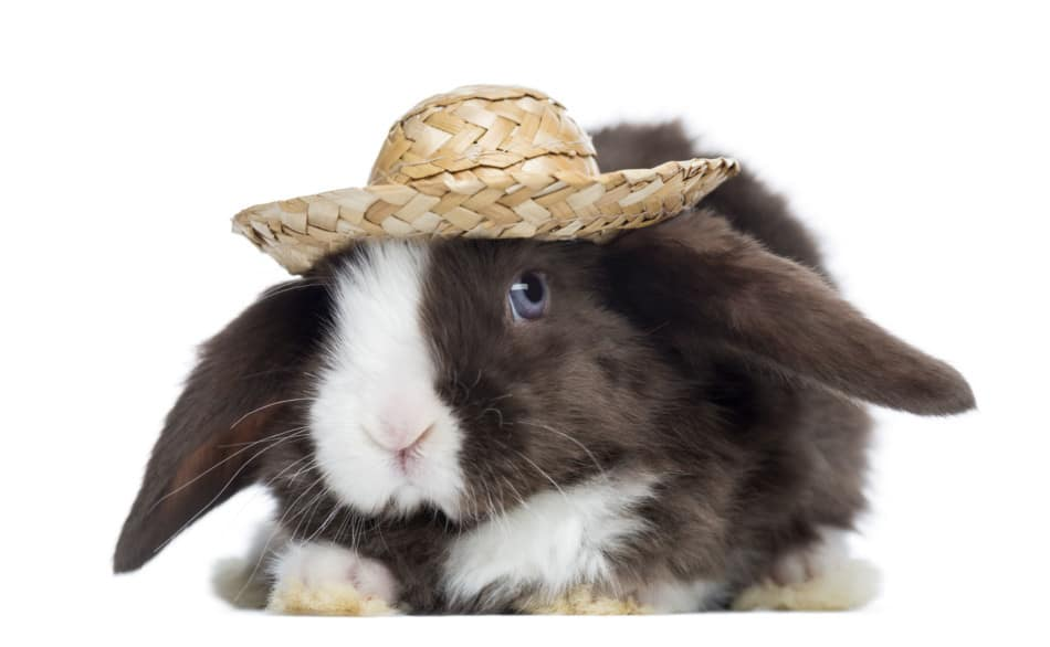 brown mini lop rabbit wearing a straw hat