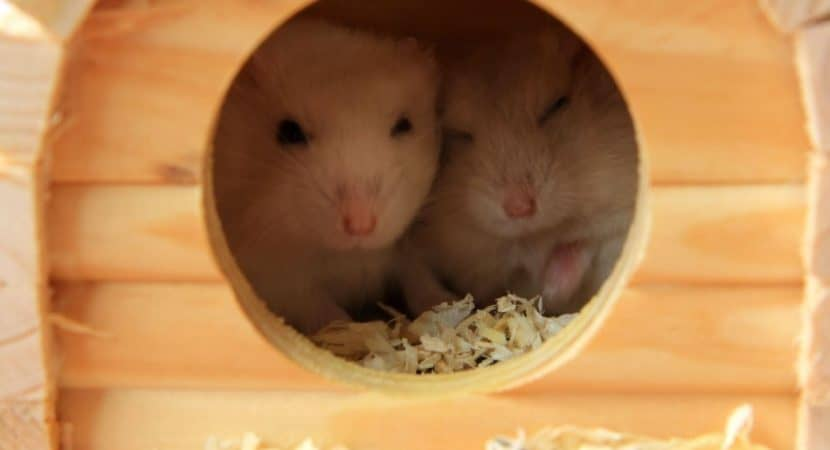 image for an article about hamsters