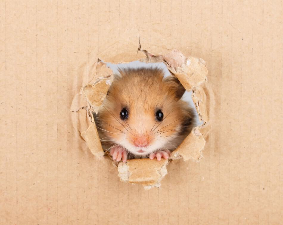 image of a hamster for an article entiled: can hamsters live together?