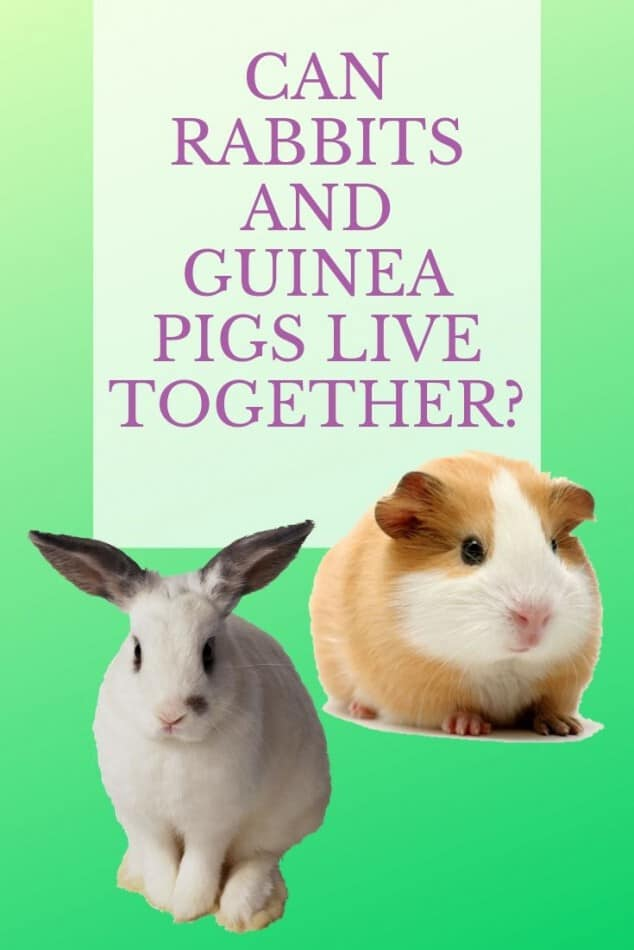 Can Guinea Pigs And Rabbits Live Together? 1