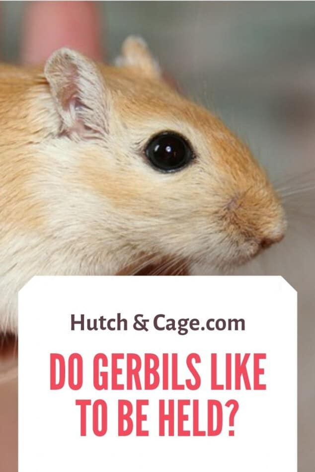 do gerbils like to be held