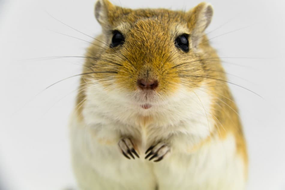 image for an article: do gerbils smell