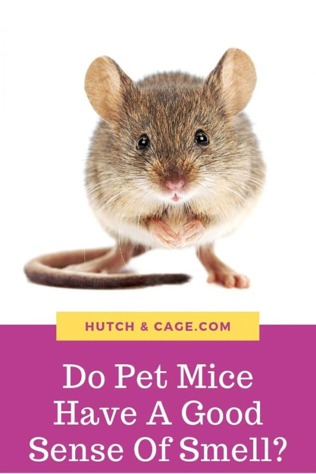 Pinterest image of a mouse. Do pet mice have a good sense of smell?
