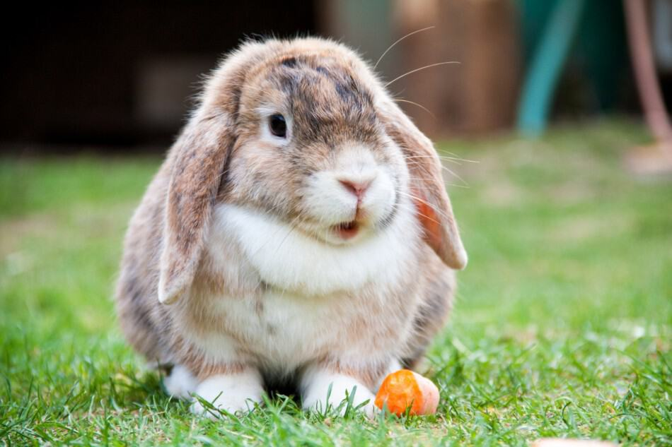 lop rabbit with a carrot