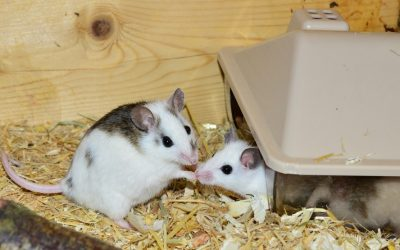 image of two pet mice