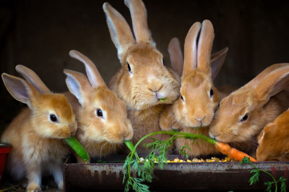 rabbits eating carrots