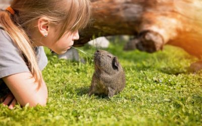 child playing with a guinea pig
