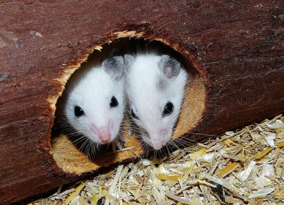 two pet mice in a hole in a log