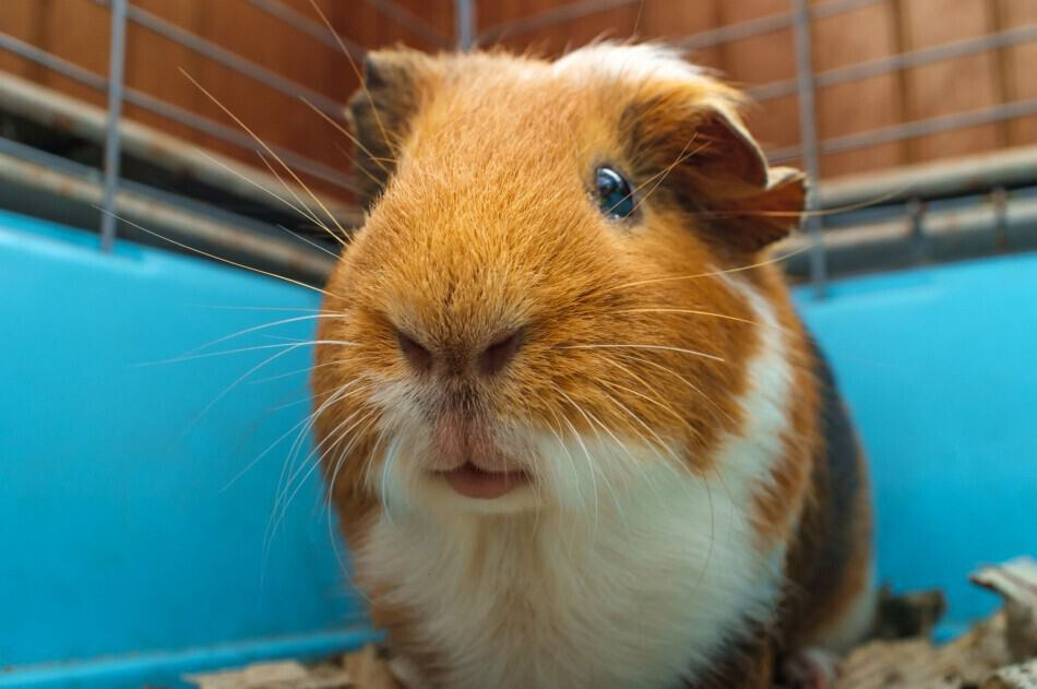 image of a guinea pig in a cage