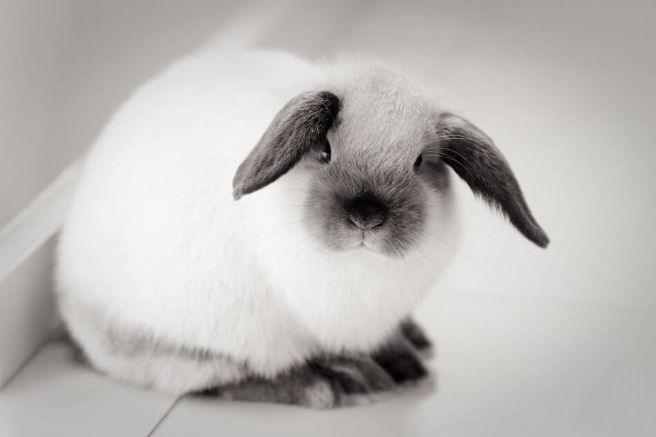 white and grey mini lop rabbit