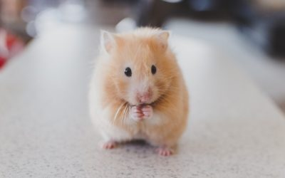 cute picture of a hamster