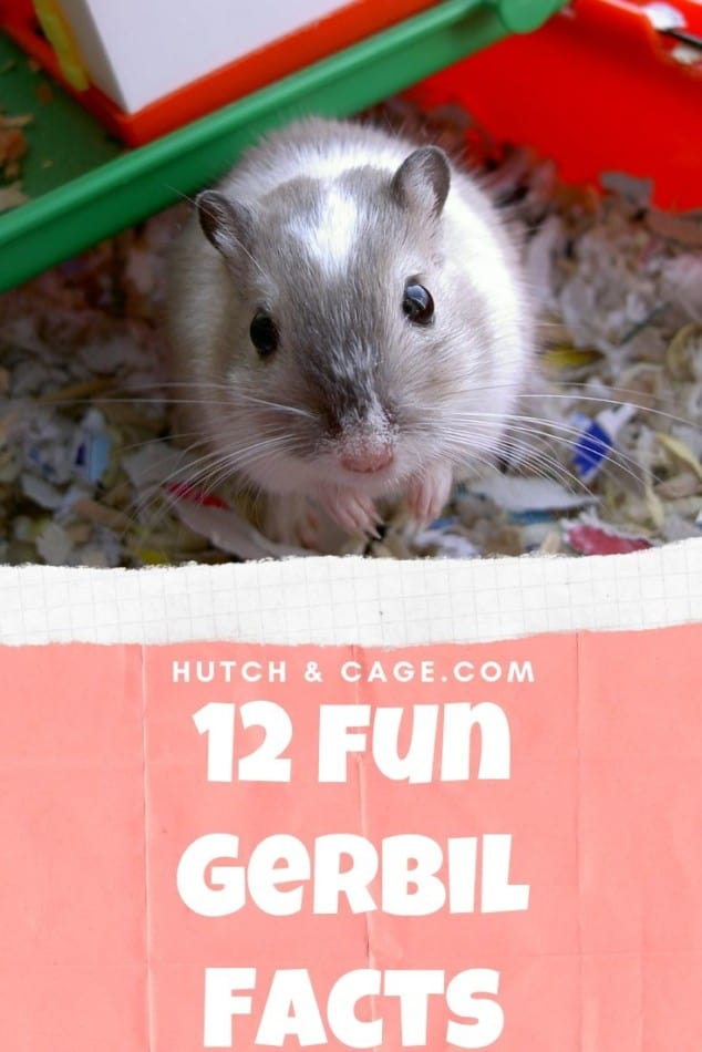 Gerbil Facts: 12 Gerbil Facts That You Need To Know! | Hutch