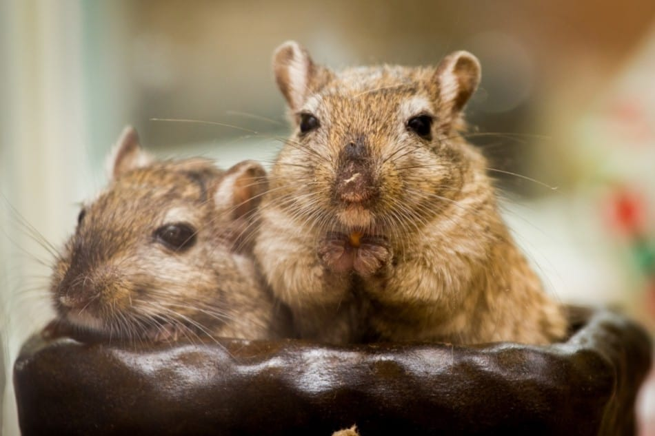 a pair of brown gerbils