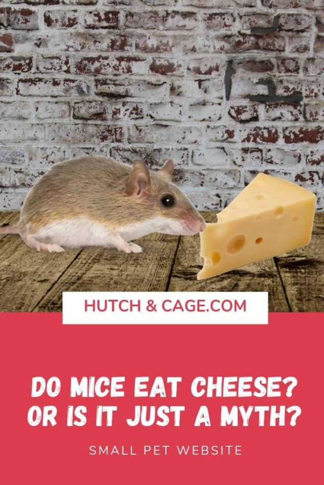MICE WITH CHEESE