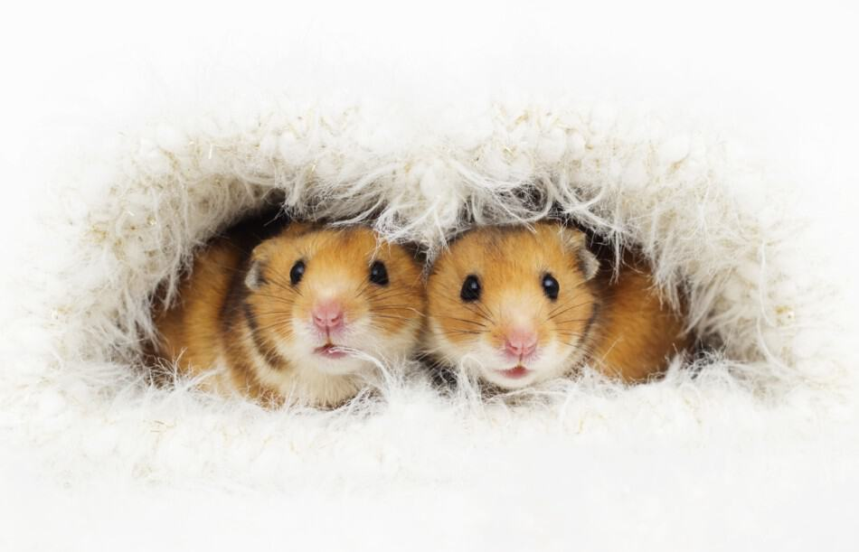 pair of hamsters