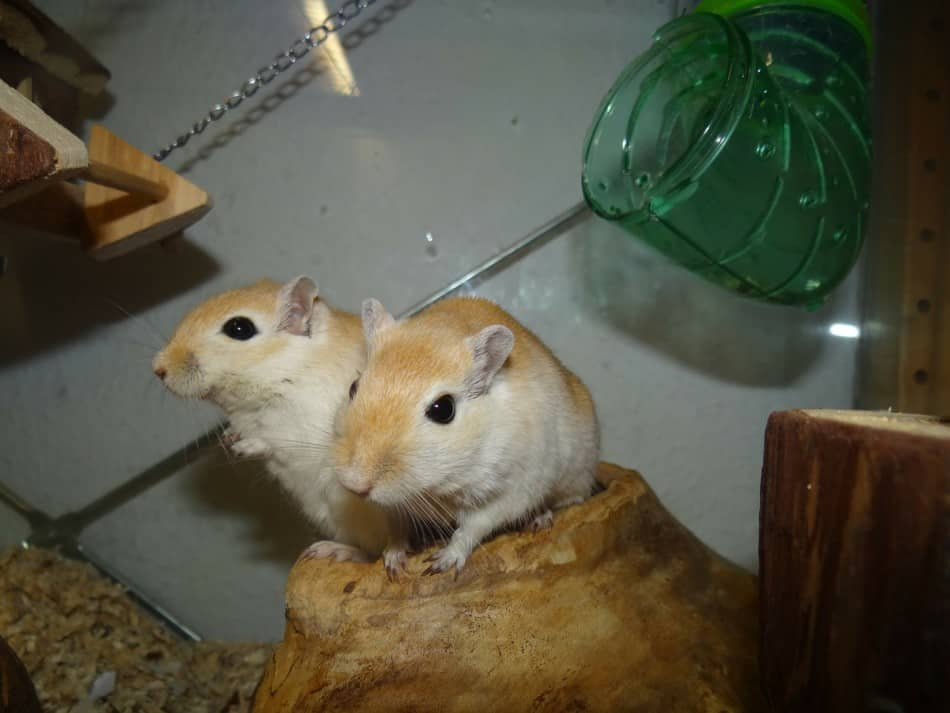 pair of gerbils