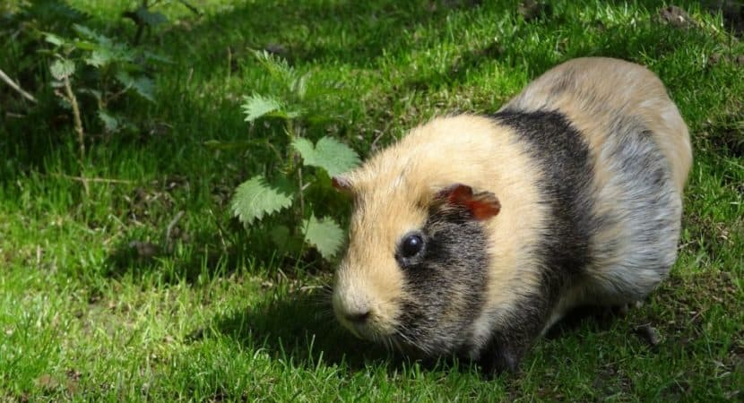 brown and black guinea pig
