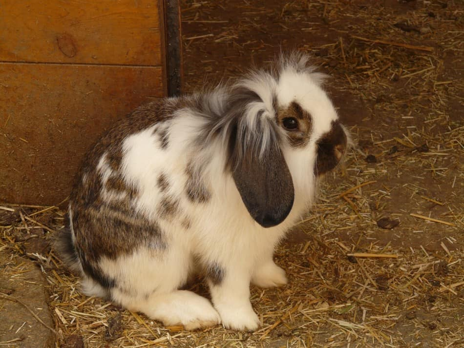 brown and white scared rabbit