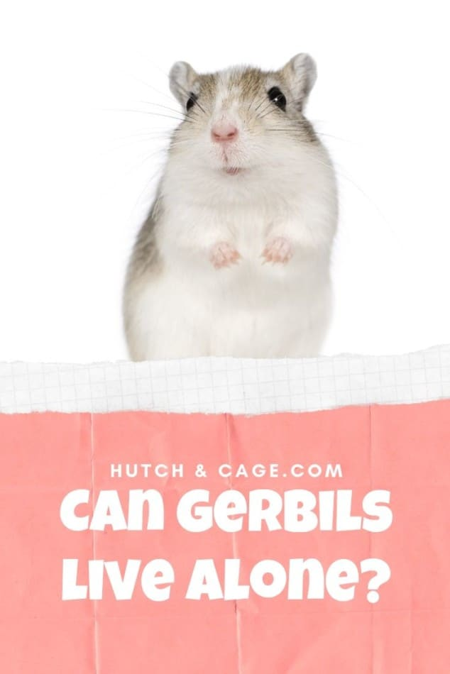 can gerbils live alone image