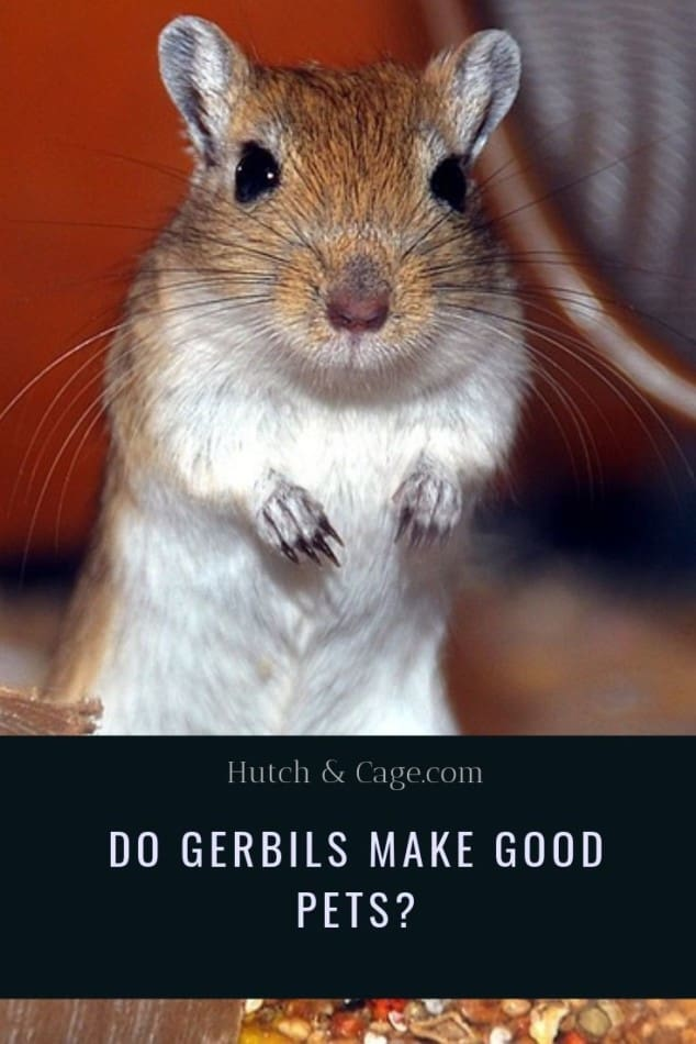 Do Gerbils Make Good Pets? Are They Good Pets For Children? 1