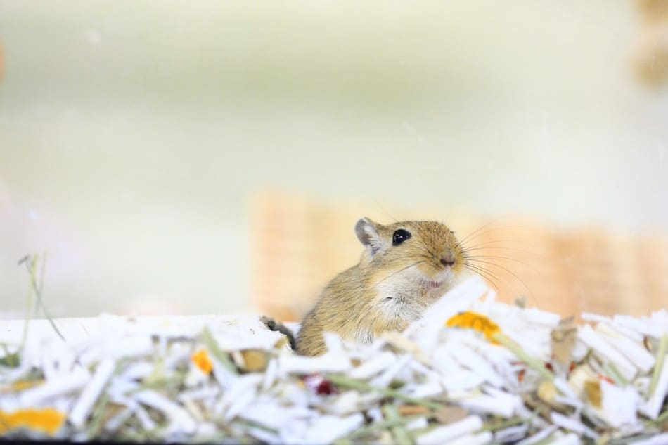 gerbil in bedding