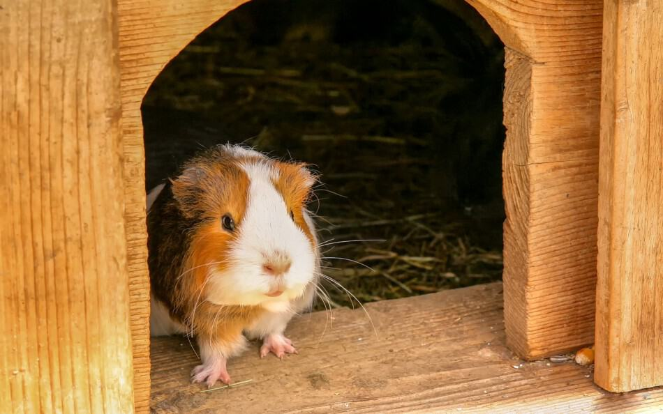 guinea pig in a hutch