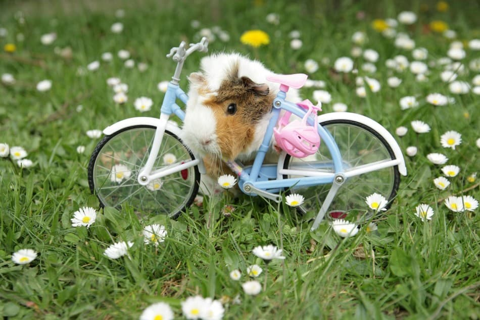 guinea pig on a bike