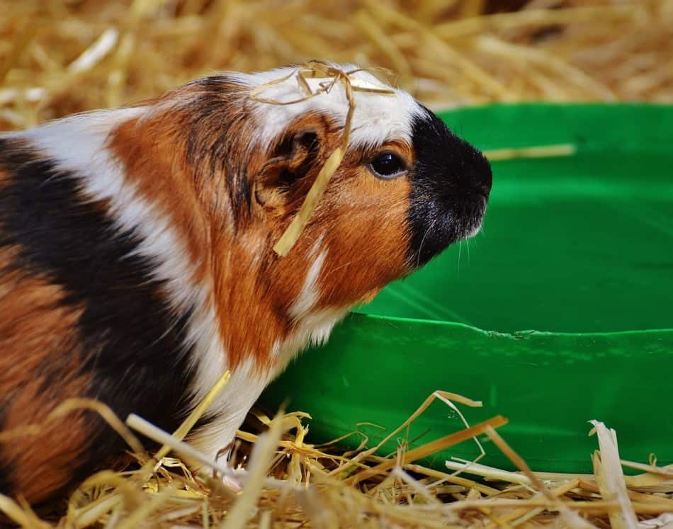 guinea pig with a green bowl