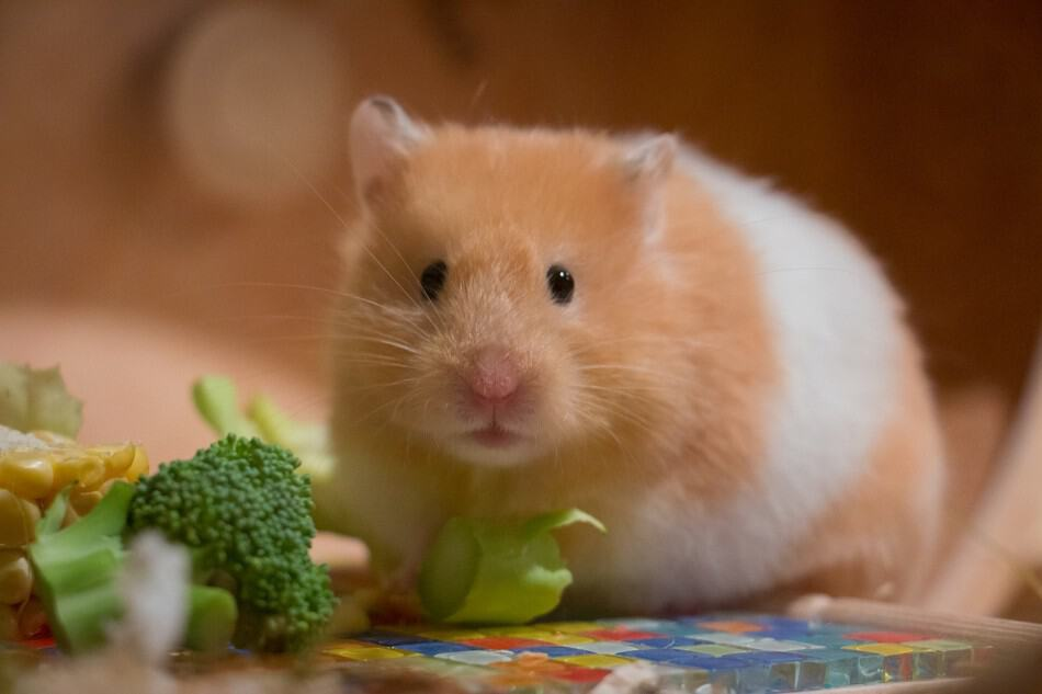 hamster eating broccoli