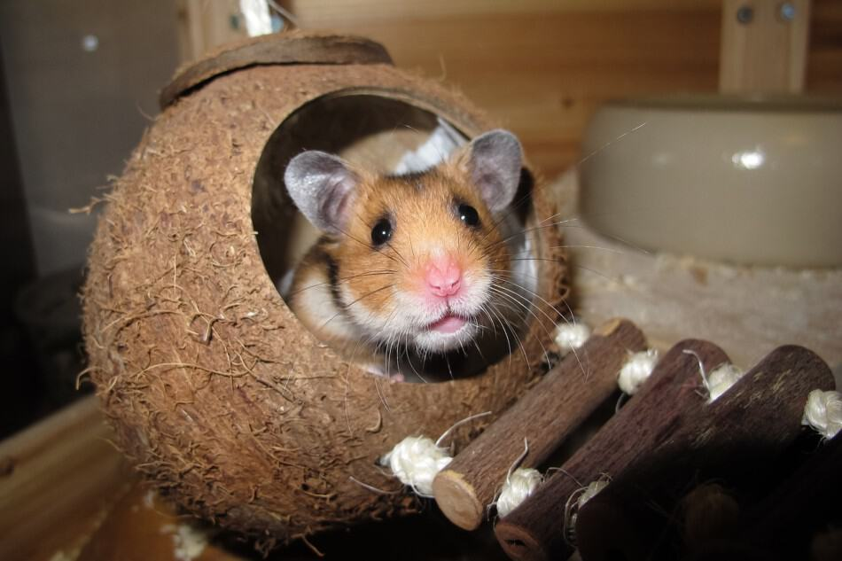 Why Do Hamsters Throw Their Poop? 1