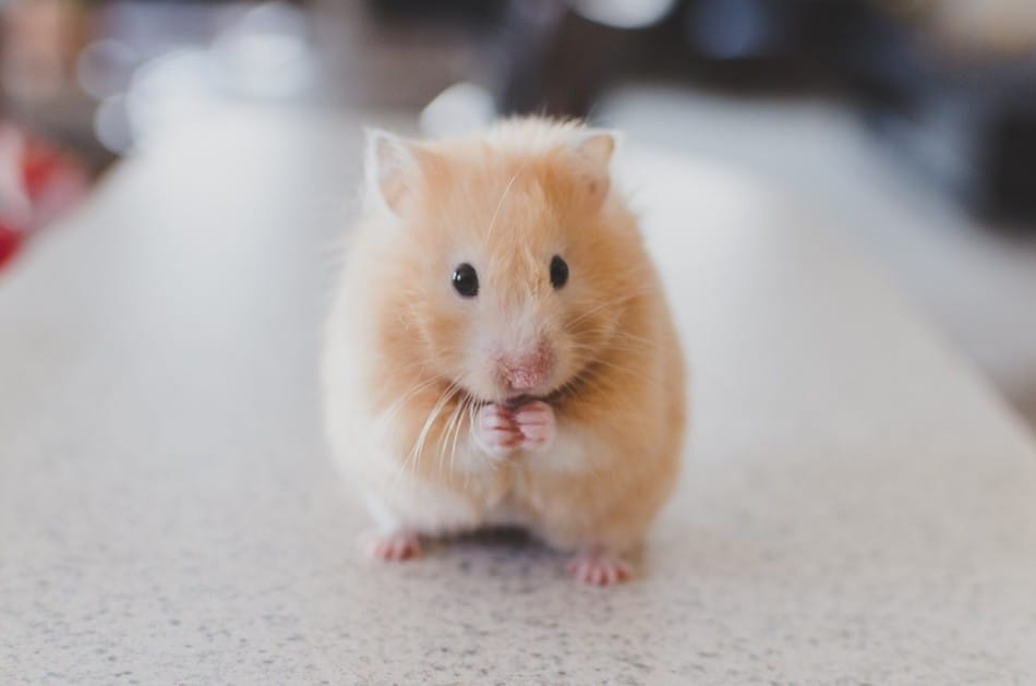 hamster on a work surface