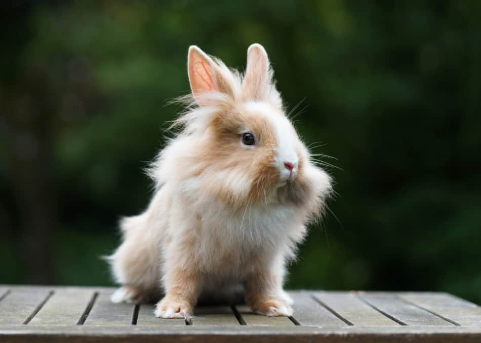 Cute little funny lionhead red rabbit in the garden.