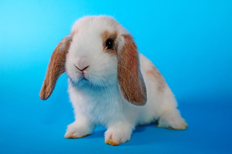 7 Pet Rabbit Breeds That Stay Small | Cute And Small Rabbit Breeds 1