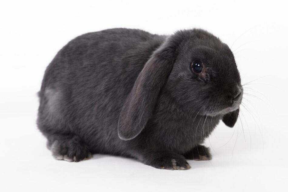 scared grey rabbit
