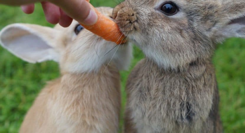 two rabbits eating a carrot
