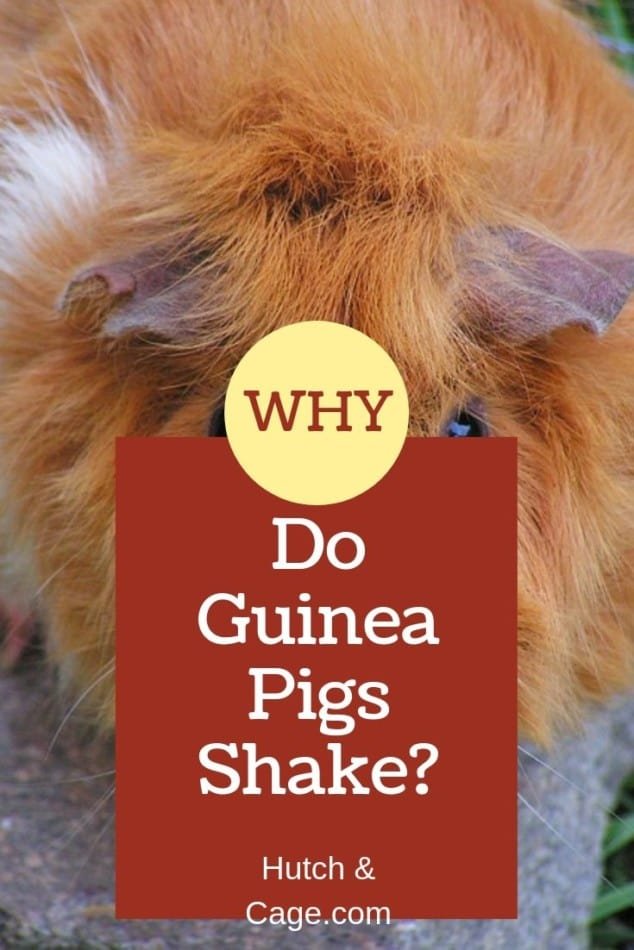 guinea pig | why do guinea pigs shake blog