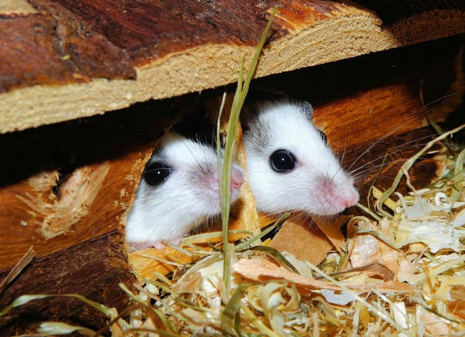 two pet mice hiding