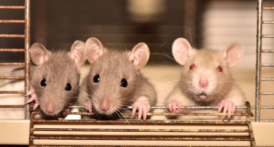 three pet mice