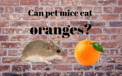 pet mouse eating an orange