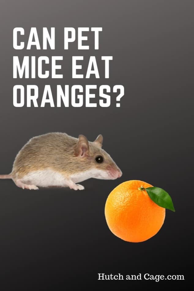 Can Mice Eat Oranges? 10 Foods Mice Love to Eat 1