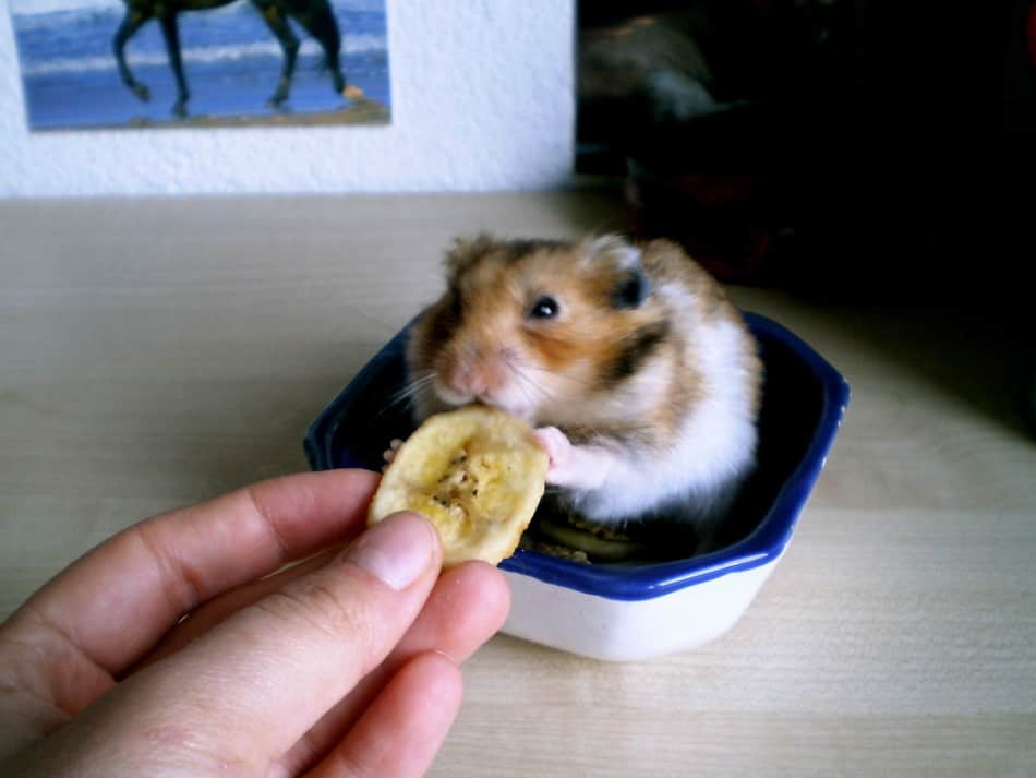 old hamster eating bananas
