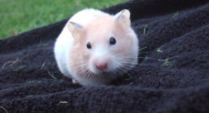 hamster on blue towel
